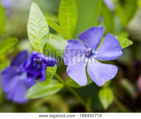 Blue vinca flowers in the summer meadow. Close-up.