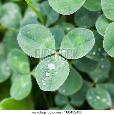 Green leaves of clover (trefoil Trifolium) with drops of dew. Close-up.