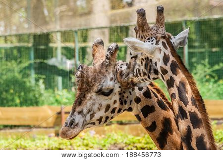 a portrait of two giraffes male and female at the time of the kiss, the female gently kisses the male, the male closed his eyes and tilted his head, Riga zoo