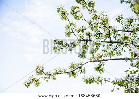 Blooming apple tree branches against the sky. Spring blossom. Apple tree flowers.