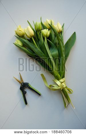 white tulips bouquet and secateurs on a blue background