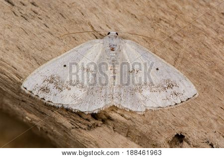 Clouded silver (Lomographa temerata) moth. British insect in the family Geometridae the geometer moths at rest on wood