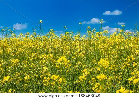 Yellow rapeseed against blue sky, summer day