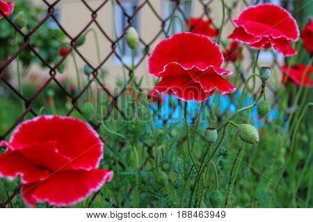 Nice red poppies on metal grid background