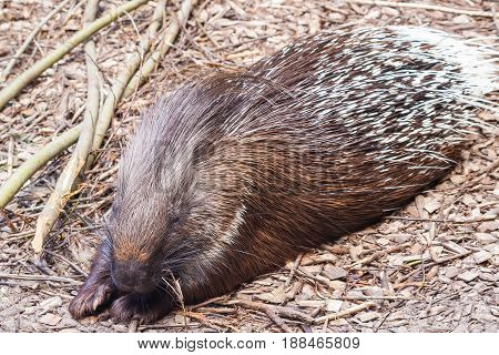 full-length porcupine lies and sleeps on the sawdust of the tree, next to it lie dry branches, closed eyes, paws extended forward, one
