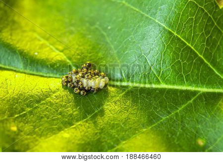 larvae and eggs of the pest bug on a green leaf