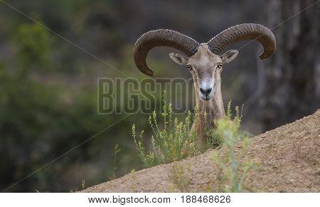 Goitered gazelle  Boynuzlular / Ceylan Gazella subgutturosa, bozkırın güzeli, maral, ahu,