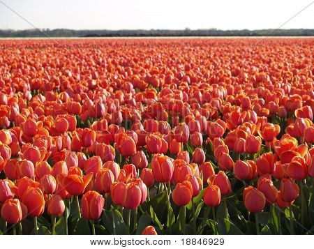 photograph of a tulipfield in holland
