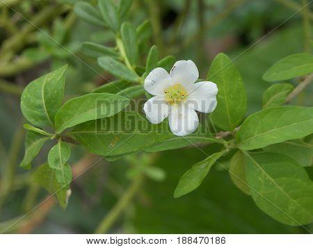 pequeña flor blancan natural y unica pistilo amarillo