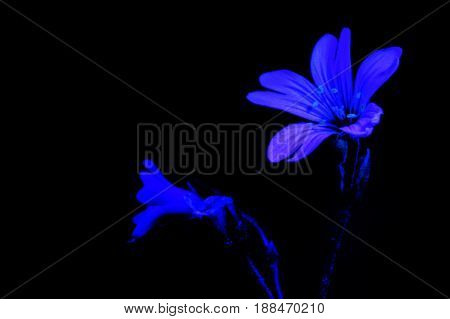 White flower light by ultraviolet (UV) light