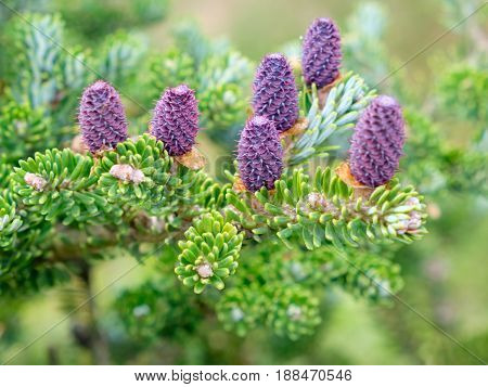 Corean Fir - Abies Koreana Select. Cones And Branches Close Up.