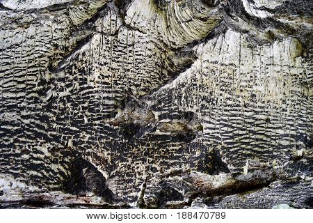 Birch bark with white and black pattern background texture