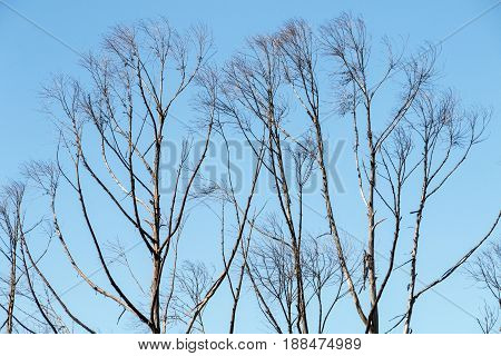 Row of dry winter leafless tree line against clear blue sky background