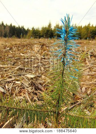 small trees marked with blue paint with cut trees in the background