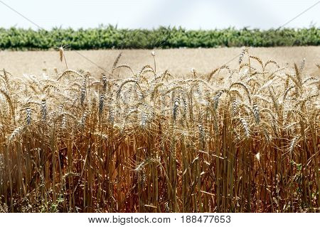 Yellow field of ripe wheat closeup with a line of green trees in the distance