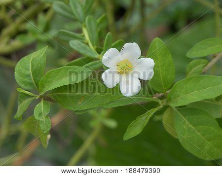 pequeña flor blanca, linda con pistilo amarillo