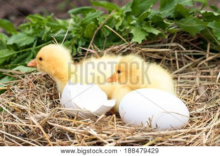 two little domestic gosling with broken eggshell and eggs in straw nest.