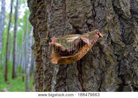 Rotten orange polypore mushroom with lichen on birch bark in Siberian taiga forest. Blur background.