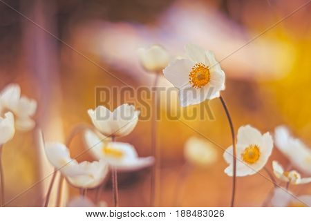 Delicate anemones with beautiful toning . Flowers on a beautiful background.Selective focus.