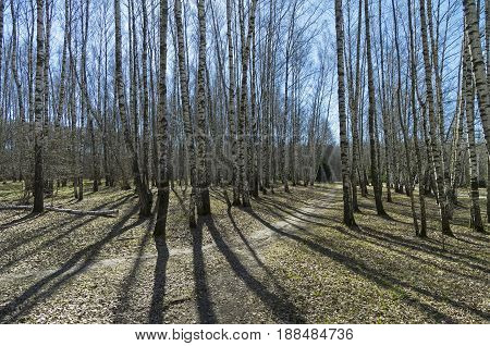 A Path In A Birch Grove. Sunny Day In April.