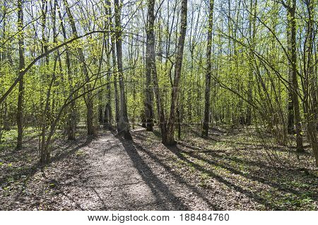 A Path In A Birch Forest. Sunny Day In May.