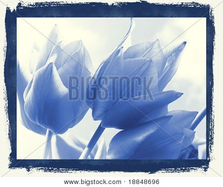 cyano-type reproduction  photograph of a tulip field against a blue sky