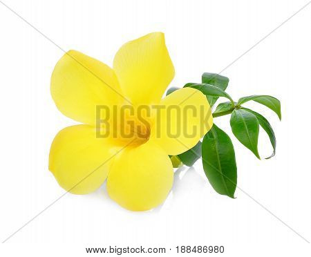 Golden trumpet Allamanda flower with green leaves isolated on white