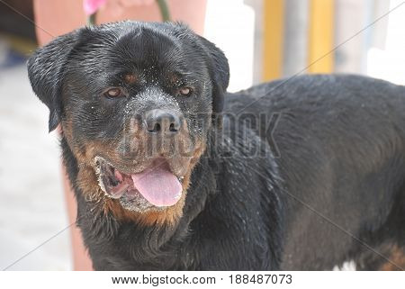 Rottweiler dog with lots of sand on his face.