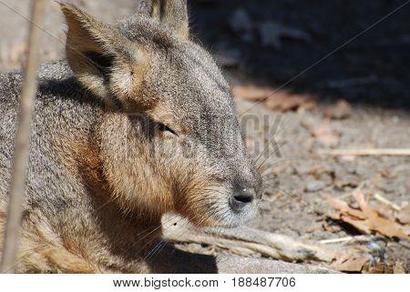 Sleeping large capybara in the warm sunshine.
