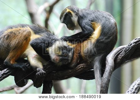 Wolf's mona monkeys grooming each other while resting on a branch.