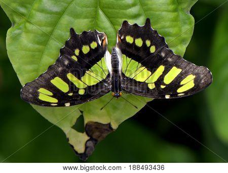 A Malachite butterfly Latin name Siproeta stelenes