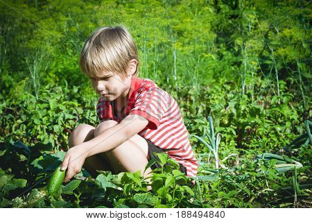 Kid picking fresh vegetables in the garden at sunny day. Family, people, gardening, lifestyle concept