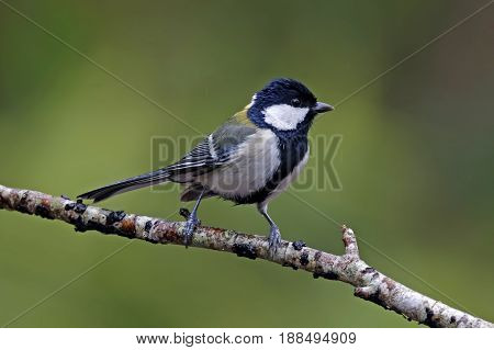 Japanese Tit Parus Minor Cute Birds Of Thailand