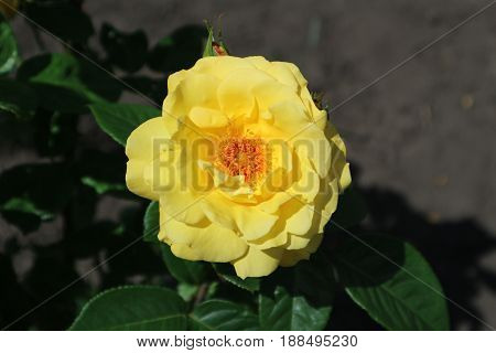One park rose yellow flower 'Marigold' on a sunny day