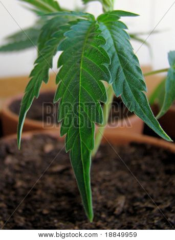 fresh Marijuana plants/the process of home growing weed