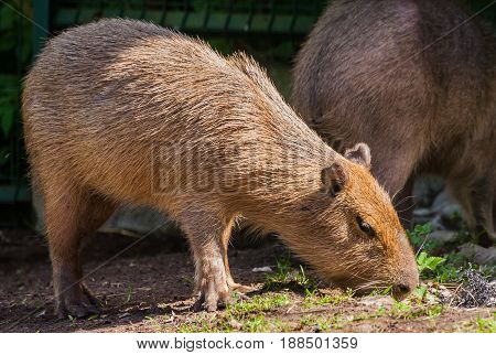 adult capybara sniffs grass in search of food, brown short hair, sunny day, spring period, Riga zoo, in the background a fence and part of another capybar, close-up, full-length portrait