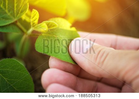 Close up of male farmer hand examining soybean plant leaf in cultivated agricultural field agriculture and crop protection