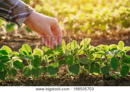 Close up of female farmer hand examining soybean plant leaf in cultivated agricultural field agriculture and crop protection