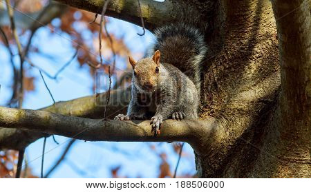 Eastern Gray Squirrel Squirrel eats nuts stare tail tree wild wildlife