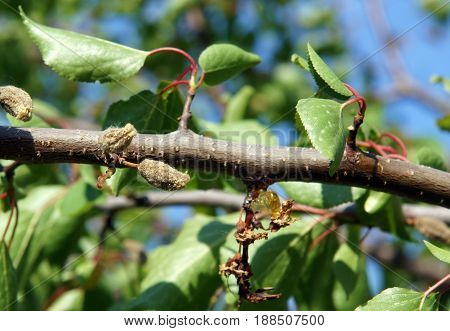 Natural gum and spoiled fruit on a damaged spring branch of apricot tree