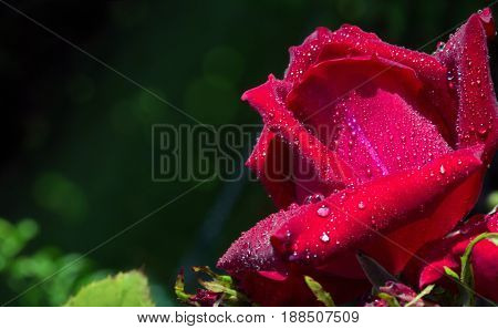 Close up of red rose petal and water drops .Macro Shot of a red Rose.
