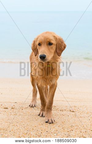 Thoughtful Red Dog On The Sand Beach