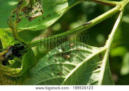 Viburnum beetle (Pyrrhalta viburni) larvas and aphids (Aphidoidea) on the leaves of viburnum