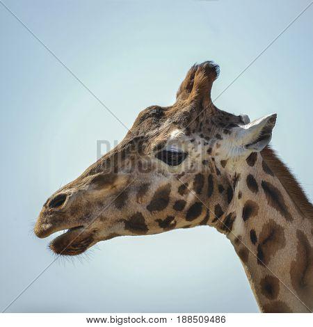 Portrait Of African Giraffe Giraffa Against Blue Sky Background