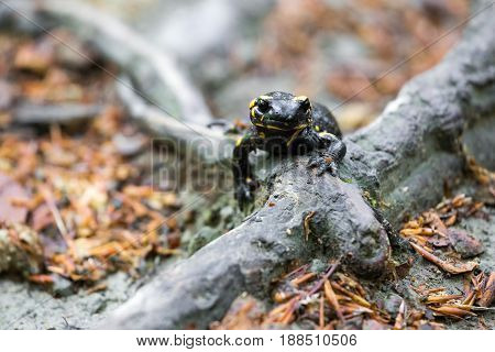 Front on view of a colorful yellow and black fire salamander Salamander salamandra walking along a tree root above ground keeping an alert eye on the camera