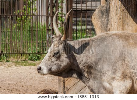 Hungarian steppe cattle one individual, picture in profile, close-up of muzzle, in the background iron lattice,