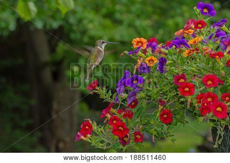A hummingbird hovers around a basket of colorful Hawaiian Luau flowers