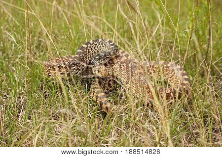 A bull snake in the grass prepares to strike in self defense.