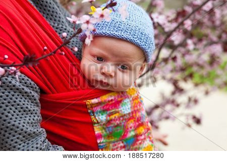 Baby carried in a sling scard in spring blossom of cherry trees