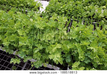 Green Leaves Of Parsley On Sale In The Grocery Store
